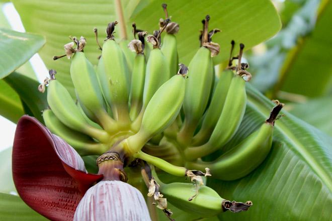 растет банан