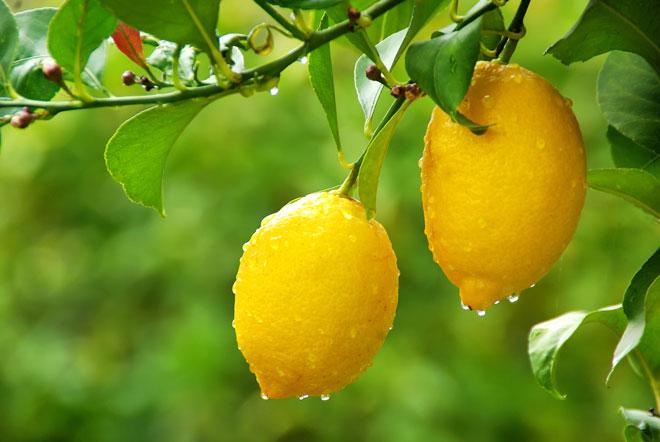 лимоны на ветке