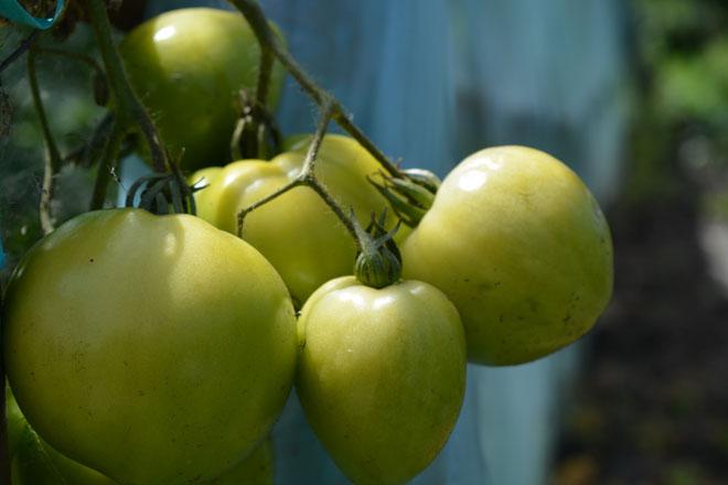 зеленые помидоры на ветке
