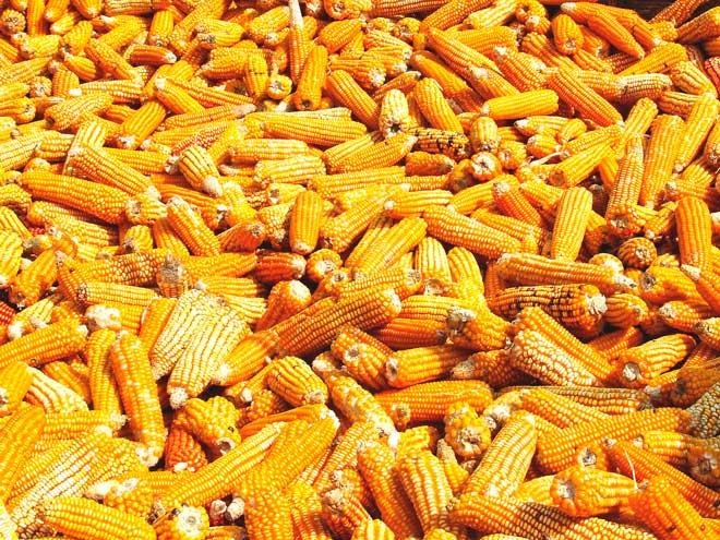 куча кукурузы