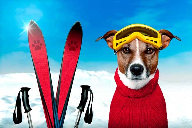 собака и лыжи