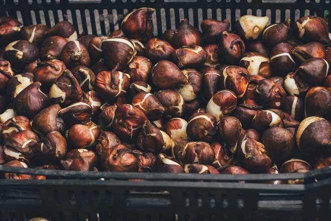 луковицы в ящиках