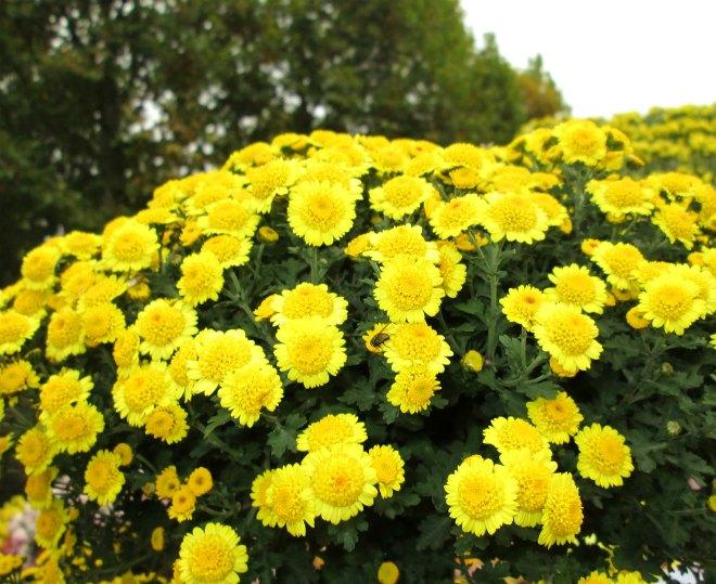 мультифлора желтая