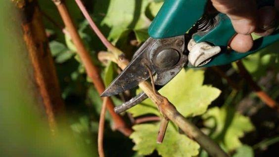 Как хранить чубуки винограда до весны