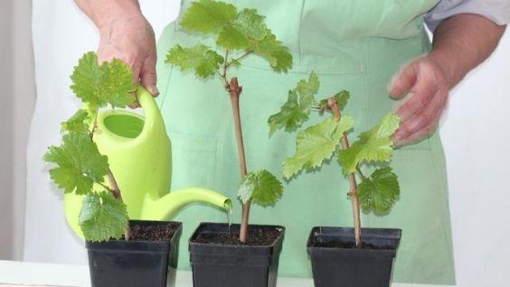 Как хранить черенки винограда срезанные осенью