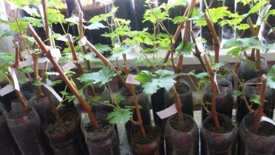 хранение черенков винограда зимой